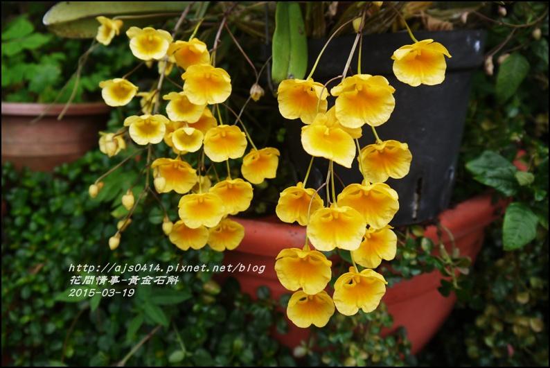 2015-03-黃金石斛3.jpg