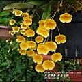 2015-03-黃金石斛6.jpg