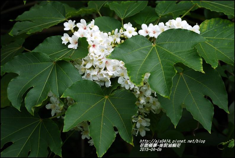 2015-04-後院油桐花15.jpg