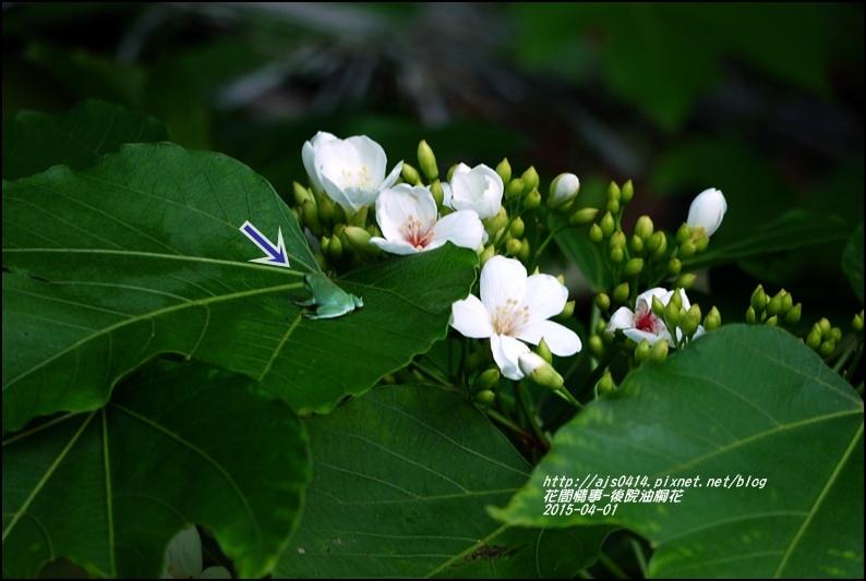 2015-04-後院油桐花2.jpg
