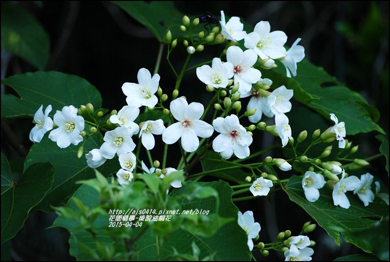 2015-04-後院油桐花4.jpg