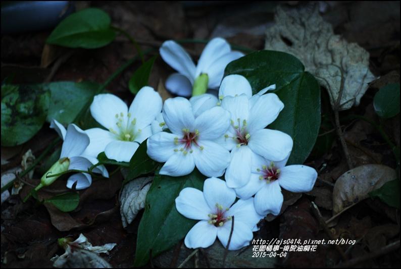 2015-04-後院油桐花6.jpg