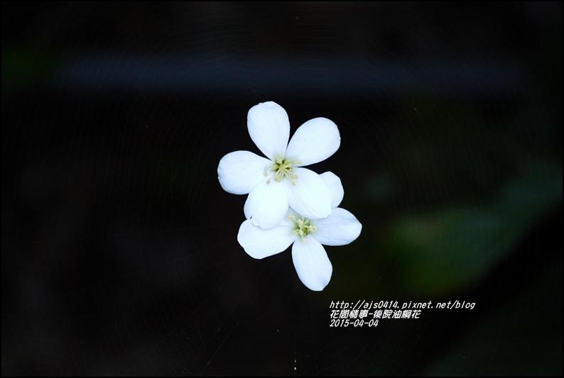 2015-04-後院油桐花8.jpg