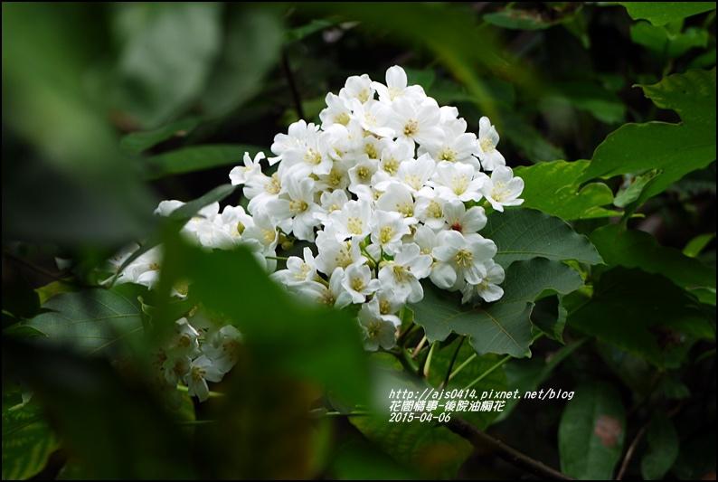 2015-04-後院油桐花11.jpg