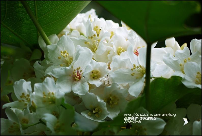 2015-04-後院油桐花13.jpg