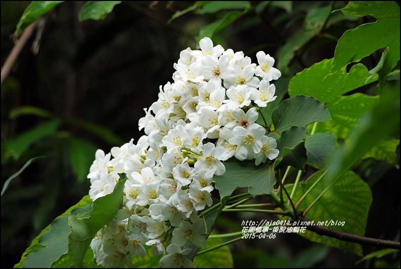 2015-04-後院油桐花12.jpg