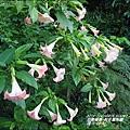 2015-04-粉花蔓陀羅1.jpg