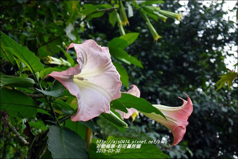 2015-04-粉花蔓陀羅6.jpg