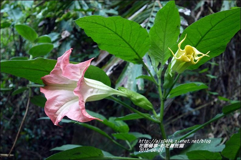 2015-04-粉花蔓陀羅7.jpg