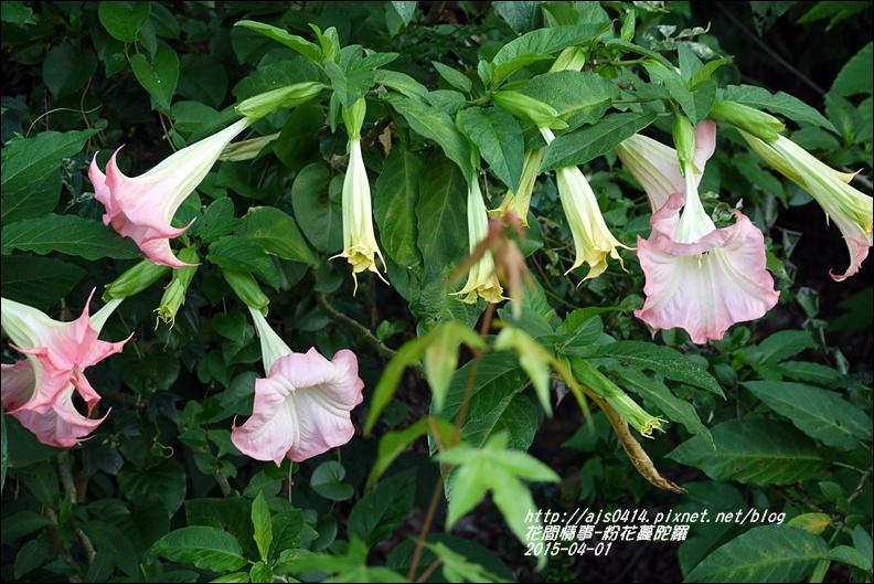 2015-04-粉花蔓陀羅10.jpg