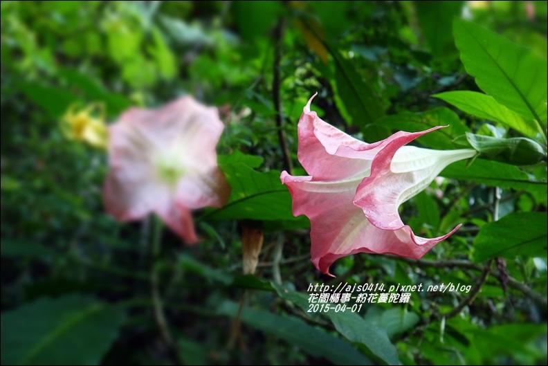 2015-04-粉花蔓陀羅12.jpg