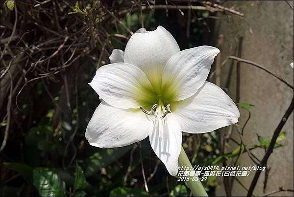 2015-04-孤挺花(白色花園)7.jpg