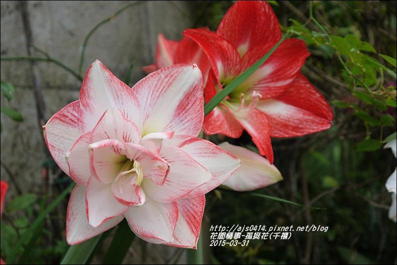 2015-04-孤挺花(千禧)3.jpg