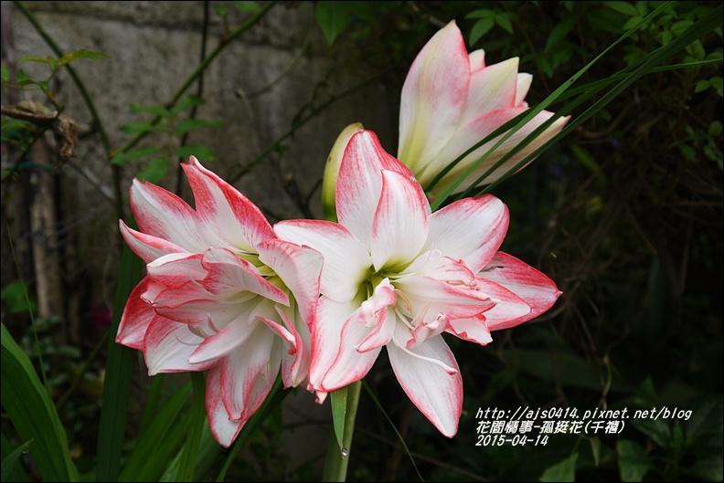 2015-04-孤挺花(千禧)5.jpg