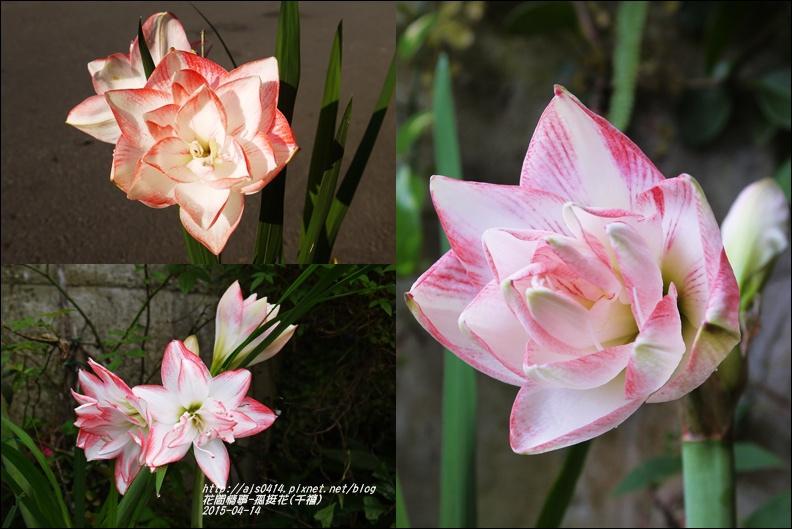 2015-04-孤挺花(千禧)7.jpg