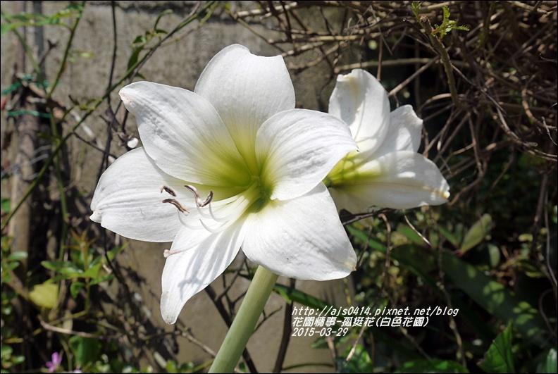 2015-04-孤挺花(白色花園)1.jpg