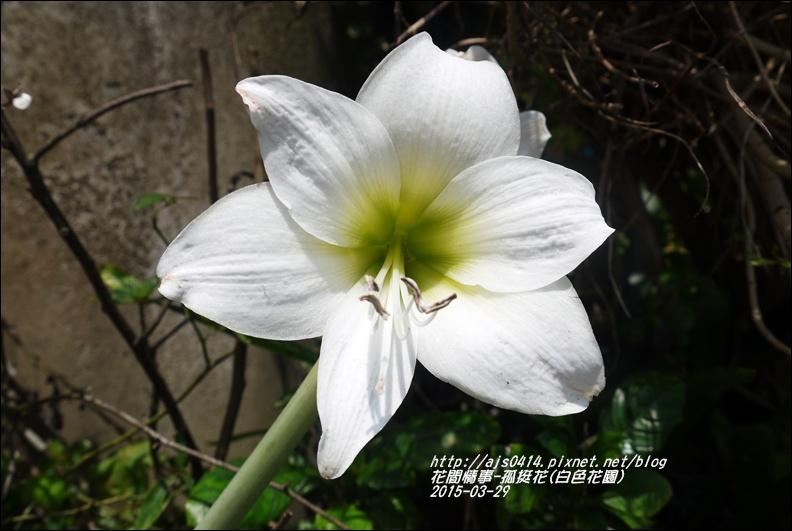 2015-04-孤挺花(白色花園)2.jpg