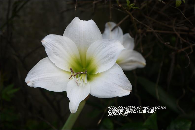 2015-04-孤挺花(白色花園)3.jpg