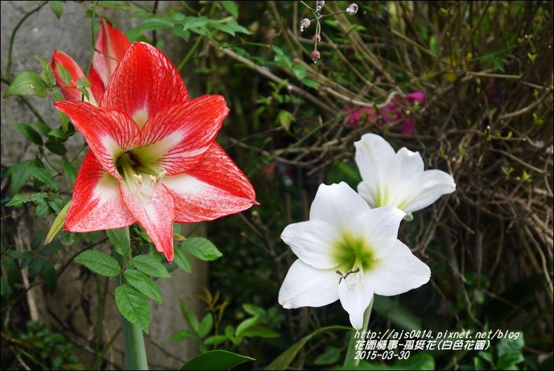 2015-04-孤挺花(白色花園)5.jpg