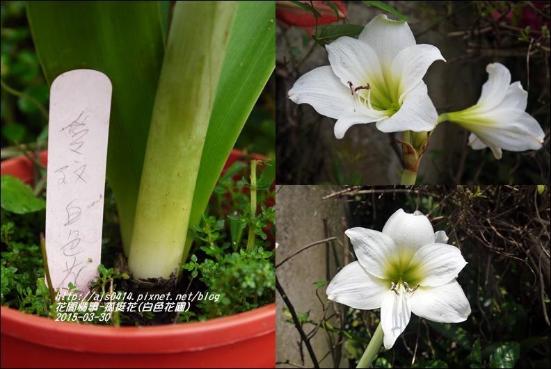 2015-04-孤挺花(白色花園)4.jpg