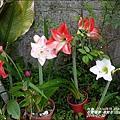 2015-04-孤挺花(白色花園)6.jpg