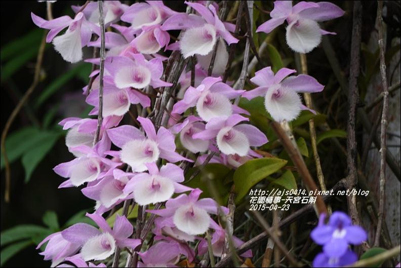 2015-05-天宮石斛4.jpg