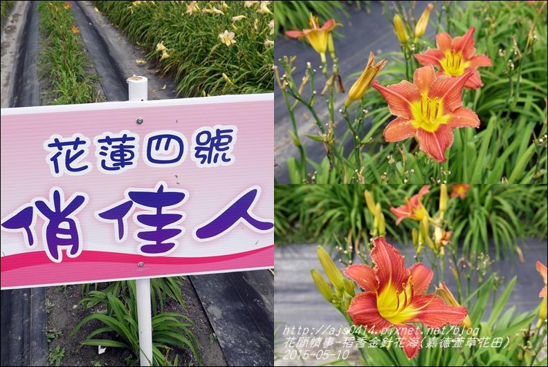 2015-05-嘉德萱草花田(吉安稻香金針花海)8.jpg