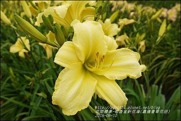2015-05-嘉德萱草花田(吉安稻香金針花海)10.jpg