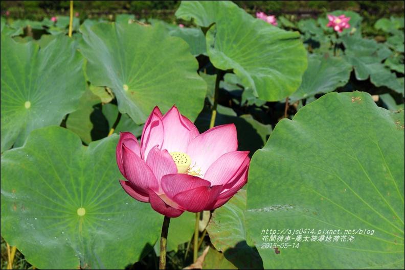 2015-05-馬太鞍濕地荷花池3.jpg