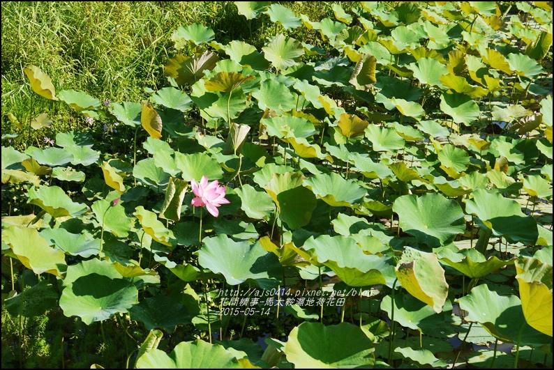 2015-05-馬太鞍濕地荷花池13.jpg