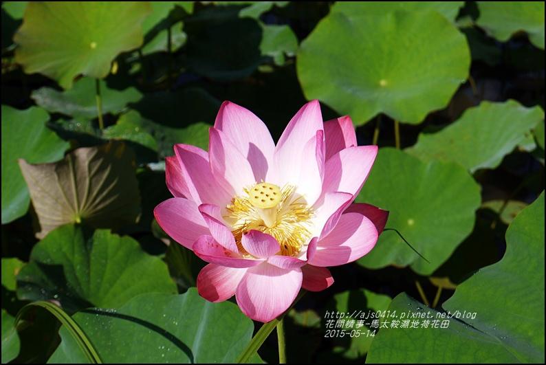 2015-05-馬太鞍濕地荷花池15.jpg