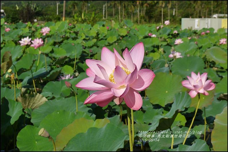 2015-05-馬太鞍濕地荷花池17.jpg