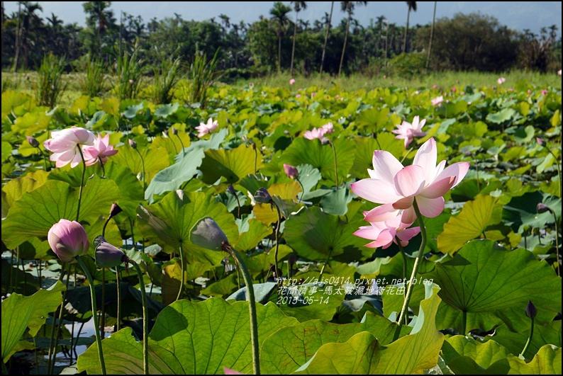 2015-05-馬太鞍濕地荷花池20.jpg