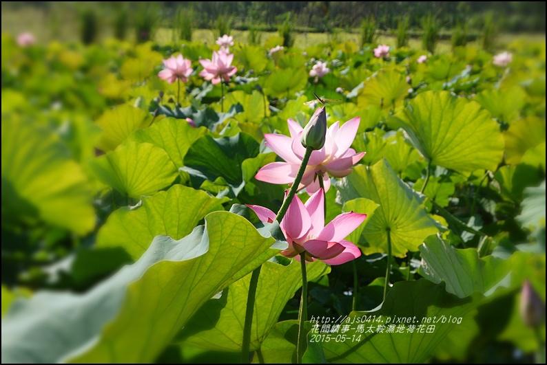 2015-05-馬太鞍濕地荷花池21.jpg