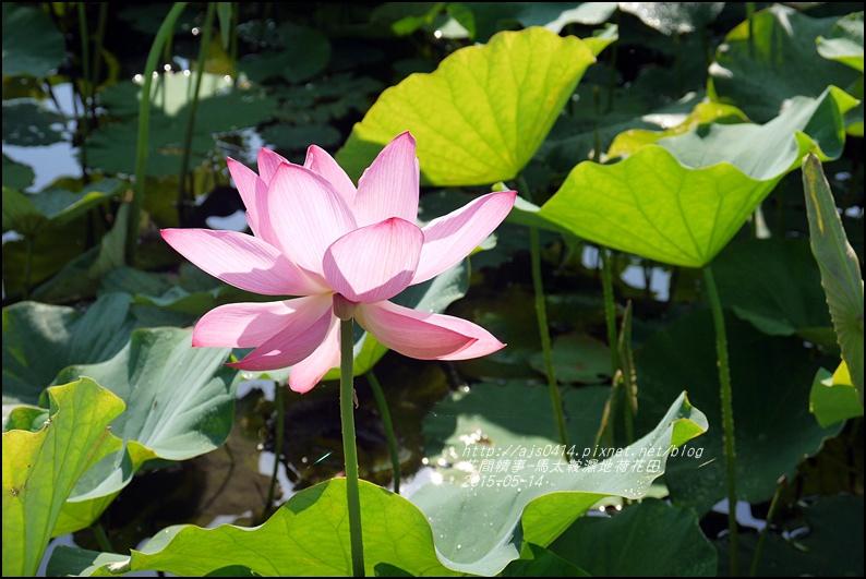2015-05-馬太鞍濕地荷花池22.jpg