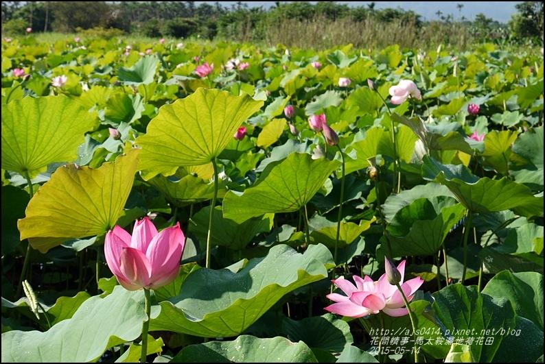 2015-05-馬太鞍濕地荷花池23.jpg