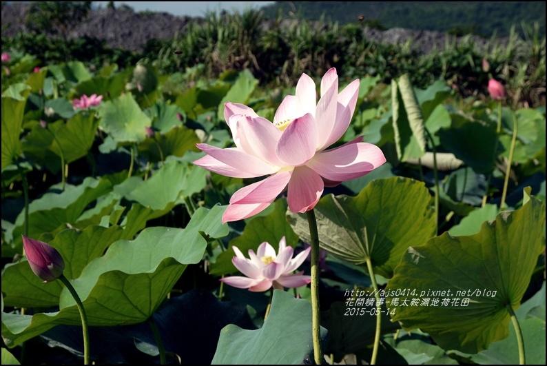 2015-05-馬太鞍濕地荷花池25.jpg