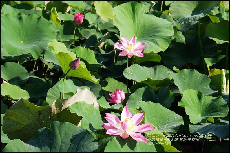 2015-05-馬太鞍濕地荷花池28.jpg