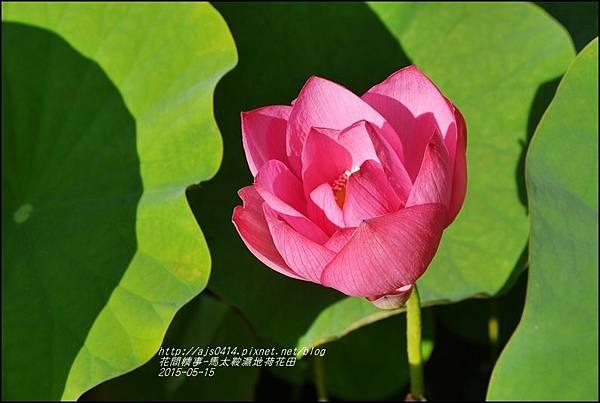 2015-05-馬太鞍濕地荷花池31.jpg
