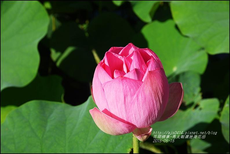2015-05-馬太鞍濕地荷花池32.jpg