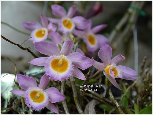 春石斛1.jpg