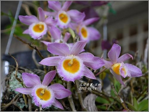 春石斛2.jpg