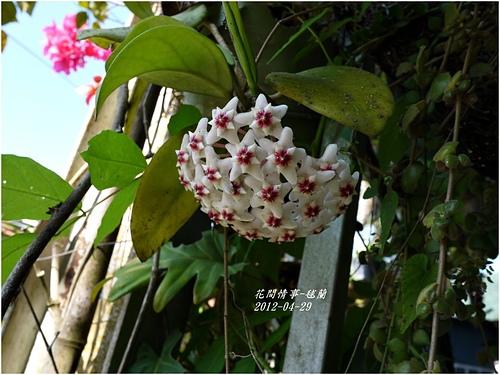 毬蘭2.jpg