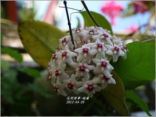 毬蘭1.jpg