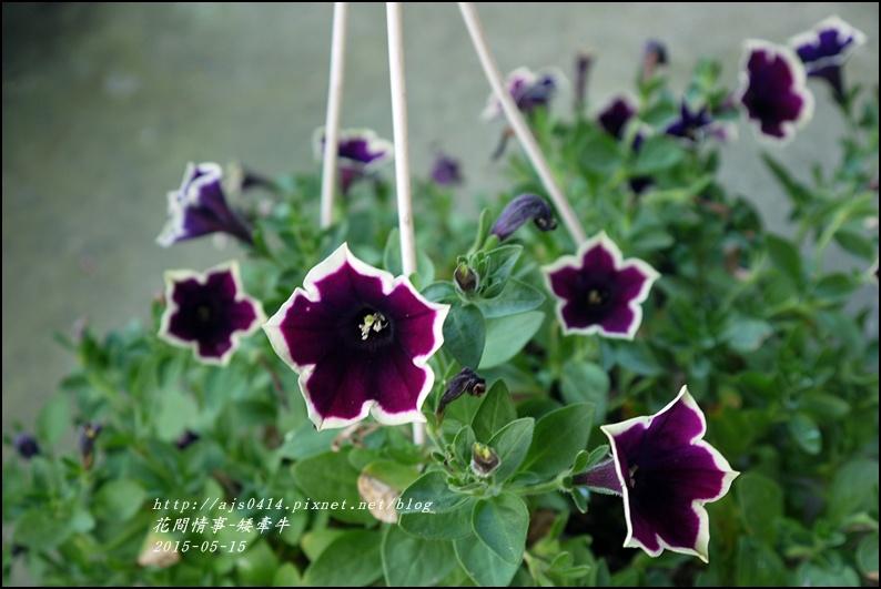 2015-05-矮牽牛4.jpg