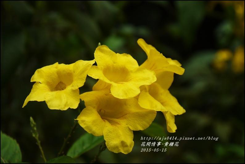 2015-05-黃鐘花2.jpg