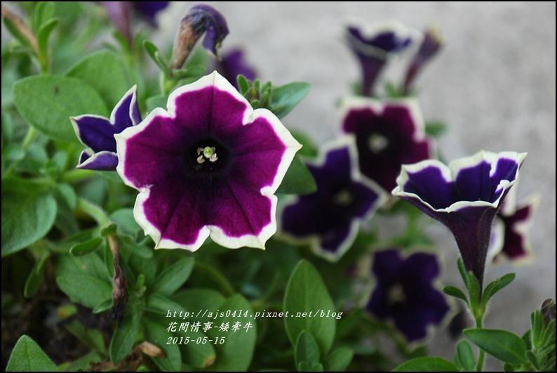 2015-05-矮牽牛3.jpg