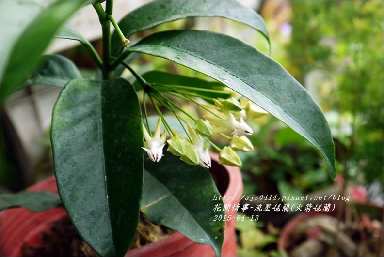 2015-05-流星毬蘭(火箭毬蘭)1.jpg