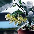 2015-05-流星毬蘭(火箭毬蘭)9.jpg