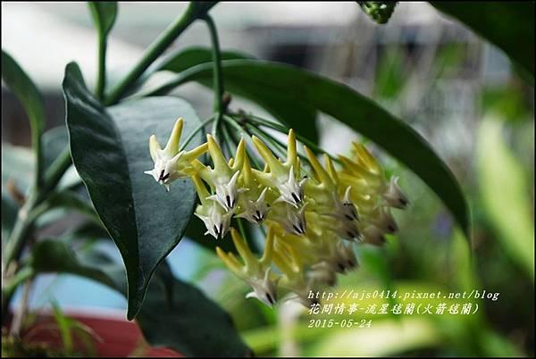 2015-05-流星毬蘭(火箭毬蘭)10.jpg